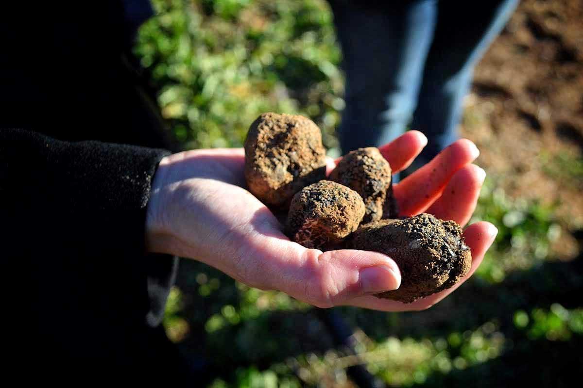Spain, black truffle biggest world'd producer, Paladar y Tomar organizes truffle hunting experiences
