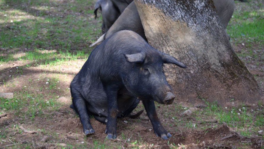 An Iberian pig lives needs minimum one hectare to survive