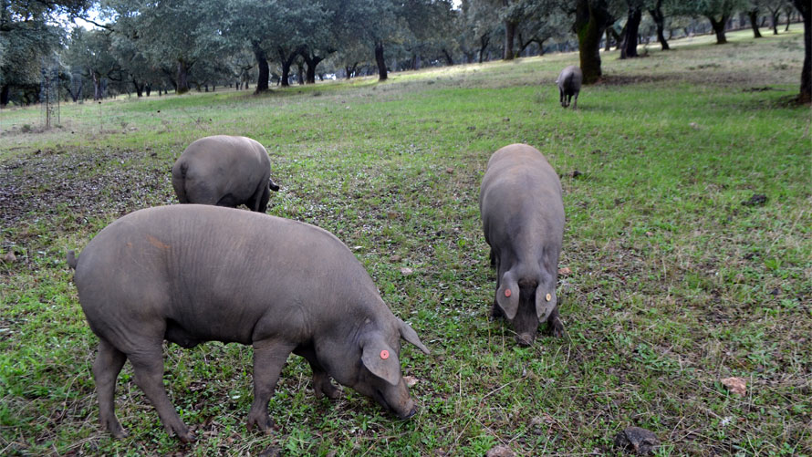 Iberian pig is a purebred with unique characteristics
