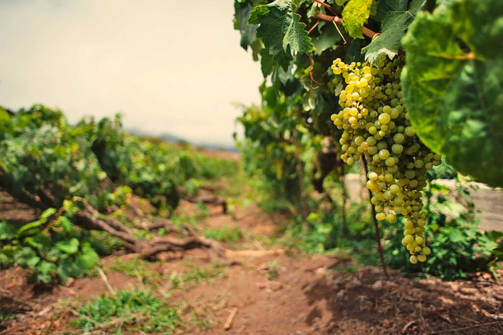 Tenerife wines are unique, enjoy a wine tour in Canary Islands by Paladar y Tomar