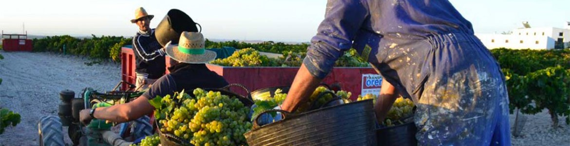 Harvest time in Jerez